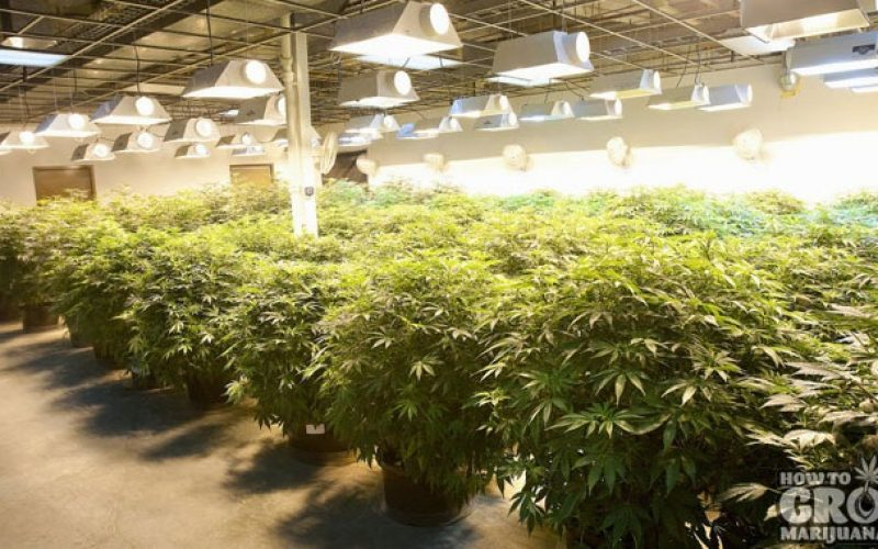 Detailed study on the topic of growing weed indoors